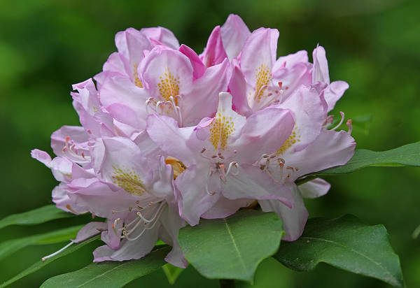 Photograph - Blooming Pink Rhododendron Flower by Juergen Roth