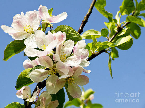 Photograph - Apple Blossom After The Rain by Brenda Kean