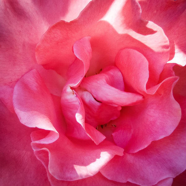 Photograph - Blossom by Roxy Hurtubise