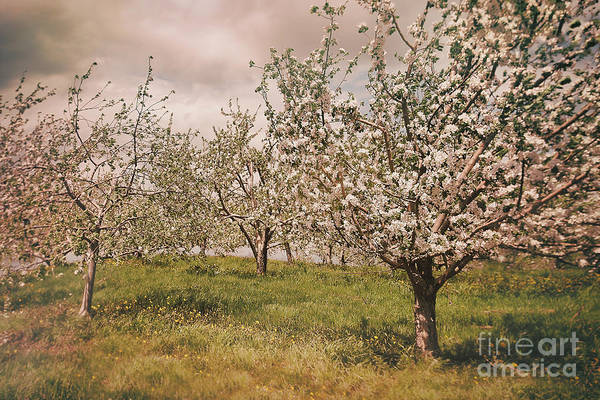 Photograph - Blossoming Apple Orchard In Spring  by Sandra Cunningham