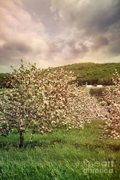 Photograph - Blossoming Apple Trees In Spring by Sandra Cunningham
