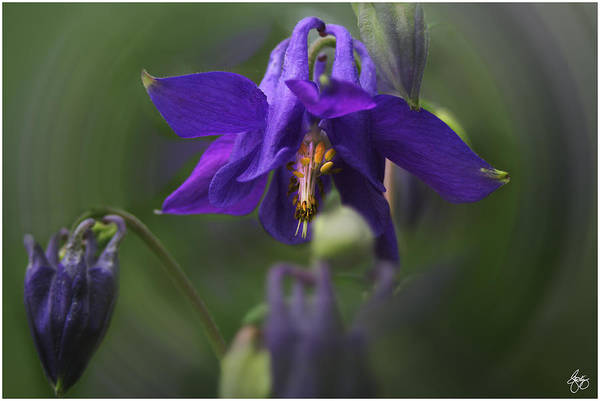 Photograph - Blossoming Of Columbine by Wayne King