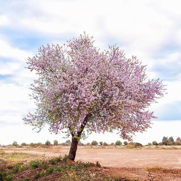 Blossoming Pink Almond Tree Prunus Art Print
