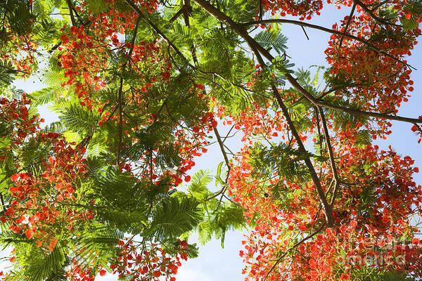 Photograph - Blossoming Royal Poinciana Tree by Charmian Vistaunet