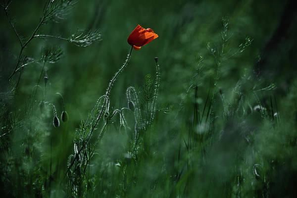 Poppies Photograph - Blow Me Away... by Ildiko Neer