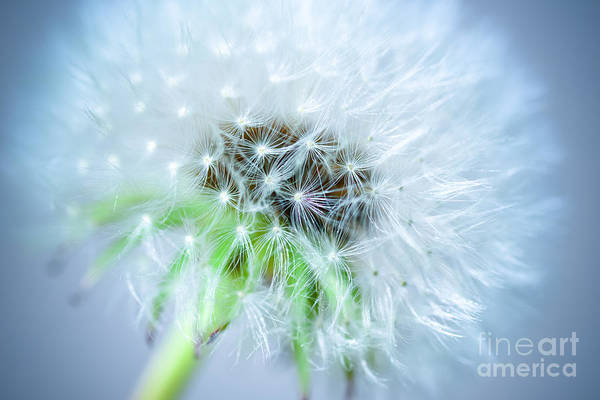 Photograph - Blowball  - Blue by Hannes Cmarits