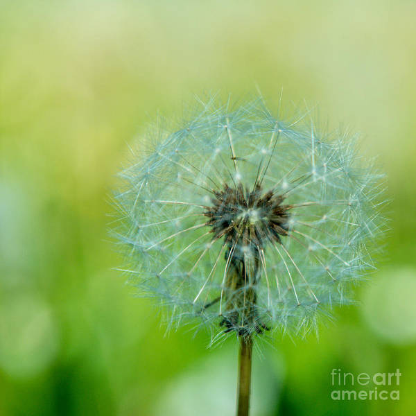 Photograph - Blowball - 1x1 by Hannes Cmarits