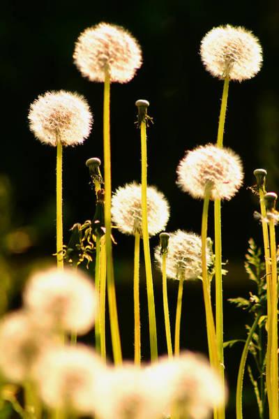 Photograph - Blowballs by Emanuel Tanjala