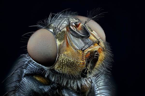 Compound Eyes Photograph - Blowfly Head by Frank Fox