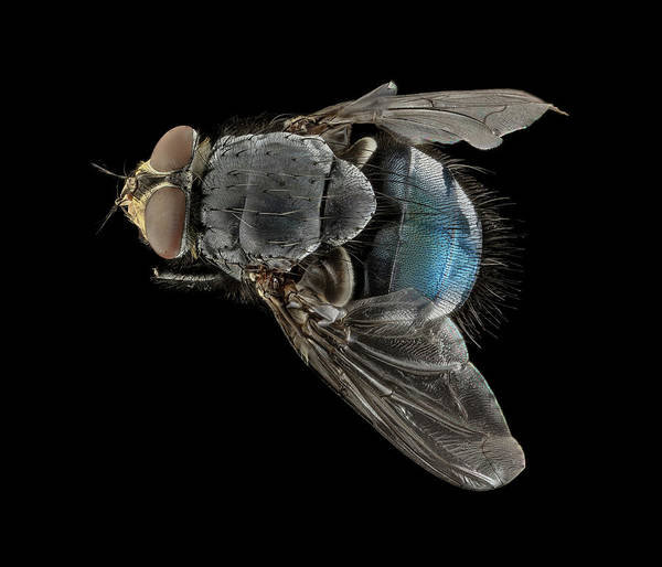 Image Stacking Photograph - Blowfly by Us Geological Survey