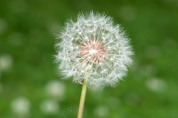 Photograph - Blown Dandelion by Alex Grichenko