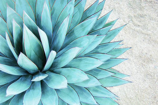 Wall Art - Photograph - Blue Agave by Pamela N. Martin