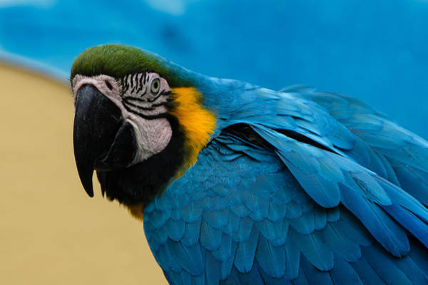 Photograph - Blue-and-gold Macaw Parrot Portrait by Georgia Mizuleva