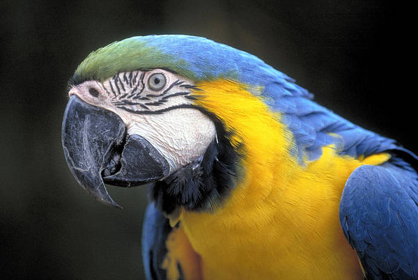 Keel-billed Toucan Photograph - Blue And Gold Parrot by Buddy Mays