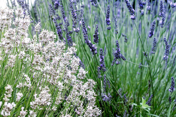 Photograph - Blue And White Lavender by Nick Mares