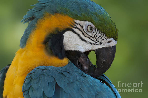 Photograph - Blue And Yellow Macaw Parrot by Meg Rousher
