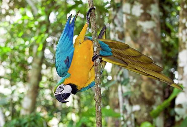 Macaw Photograph - Blue And Yellow Macaw by Tony Camacho/science Photo Library