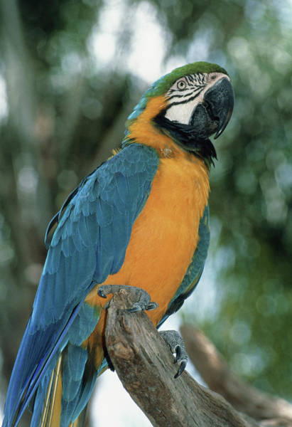 Macaw Photograph - Blue And Yellow Macaw by Tony Craddock/science Photo Library