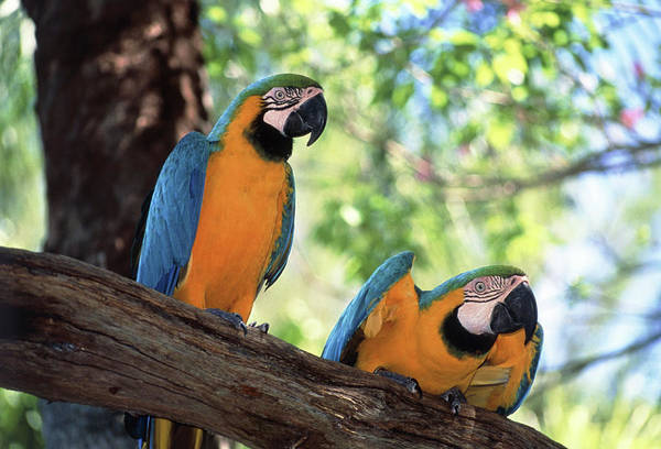 Macaw Photograph - Blue And Yellow Macaws by Tony Craddock/science Photo Library