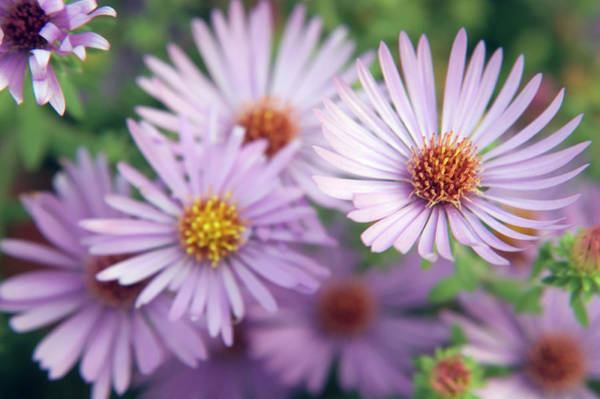 Aster Photograph - Blue Aster (aster Novii-belgii) by Maria Mosolova/science Photo Library