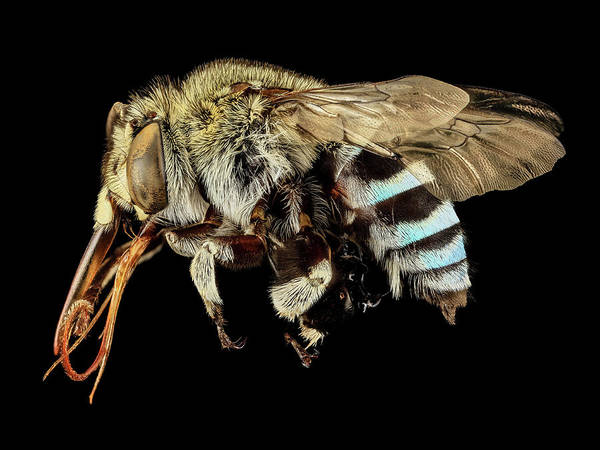 Image Stacking Photograph - Blue Banded Bee by Us Geological Survey