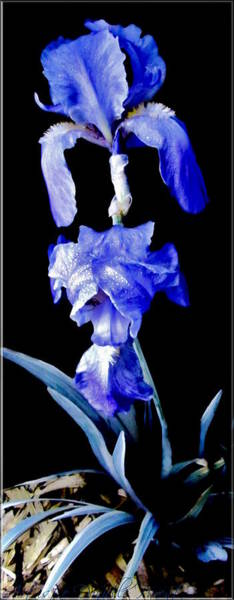 Blue Bearded Rhizomatous Irises Art Print