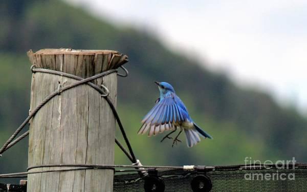Photograph - Blue Bird by Ann E Robson