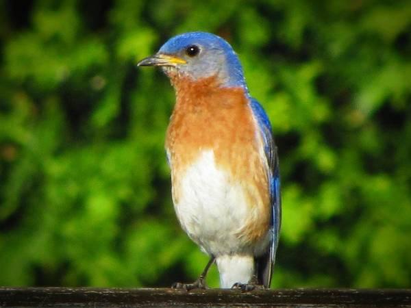 Photograph - Blue Bird by David Dehner