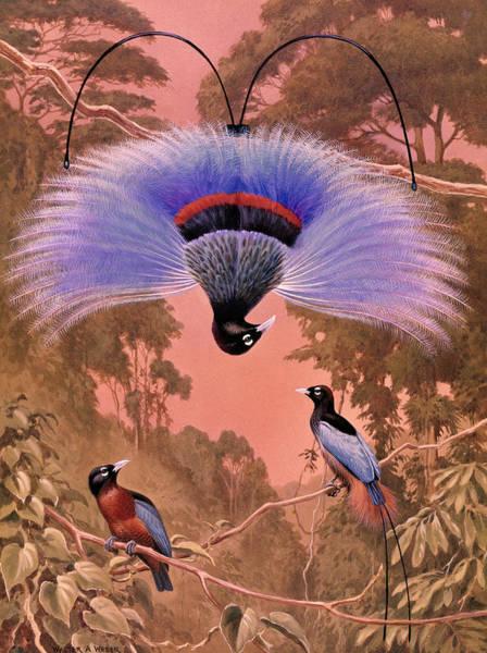 Wall Art - Photograph - Blue Bird Of Paradise Performs by Walter A. Weber