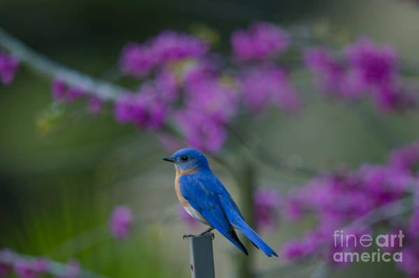 Southern Ontario Photograph - Blue Bird Song by Dale Powell