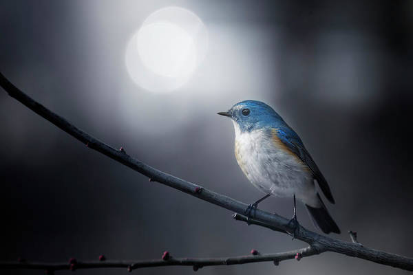 Bokeh Wall Art - Photograph - Blue Bird by Takashi Suzuki