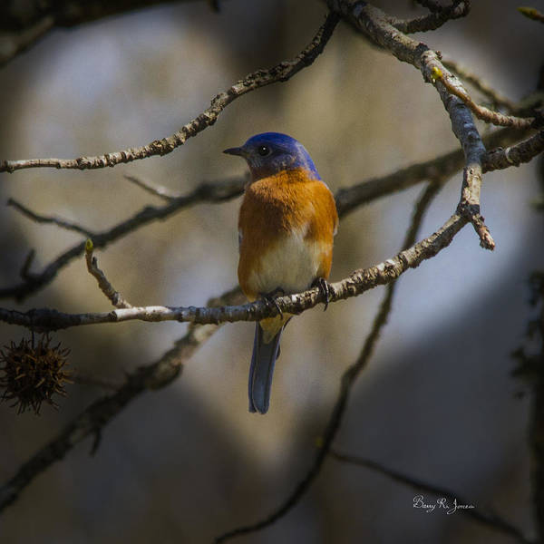 Photograph - Blue Bird Valentine by Barry Jones