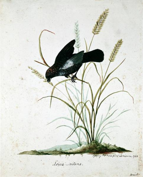 Wall Art - Photograph - Blue-black Grassquit by Natural History Museum, London