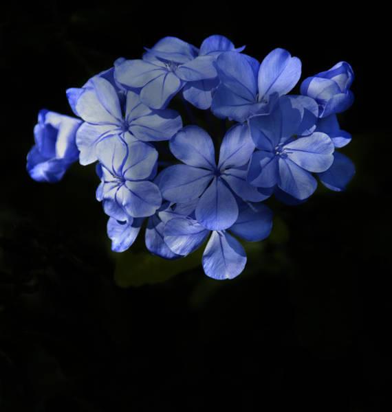 Photograph - Blue Bonnett by Penny Lisowski
