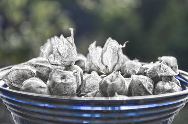 Photograph - Blue Bowl Black And White Ground Cherries by Sharon Popek