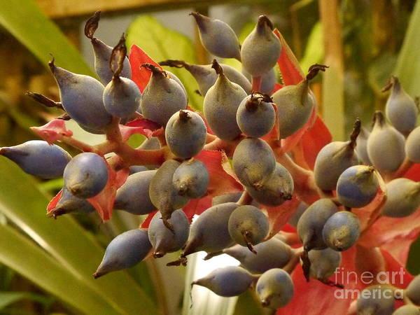 Bromelia Photograph - Blue Bromelia Seeds by Christiane Schulze Art And Photography