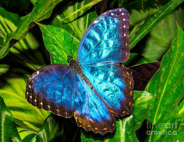 Photograph - Blue Butterfly by Nick Zelinsky