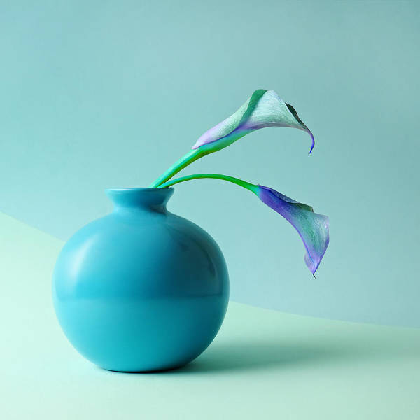 Blue Background Photograph - Blue Calla Lilies In Blue Vase by Juj Winn