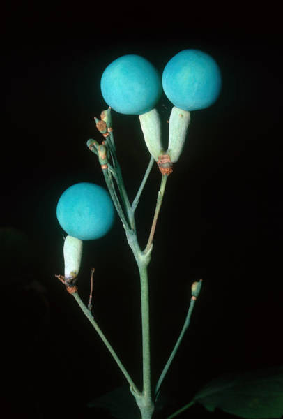 Wall Art - Photograph - Blue Cohosh Berries by John W. Bova