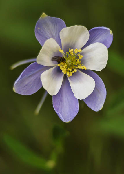 Photograph - Blue Columbine by Lee Kirchhevel