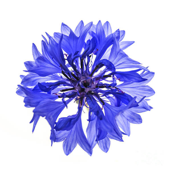 Design Photograph - Blue Cornflower Flower by Elena Elisseeva