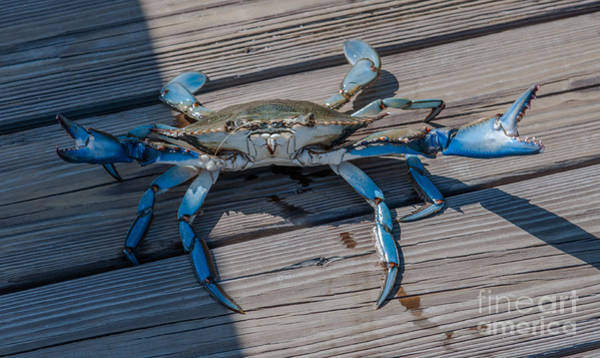 Photograph - Blue Crab by Dale Powell