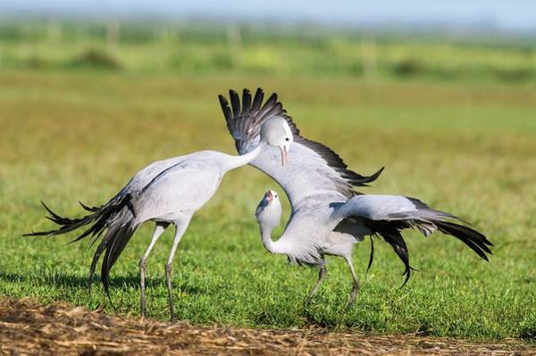 Courtship Photograph - Blue Cranes by Peter Chadwick