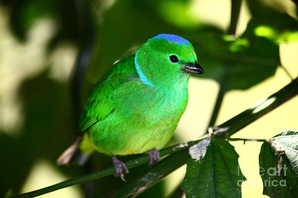 Photograph - Blue Crowned Chlorophonia by James Brunker