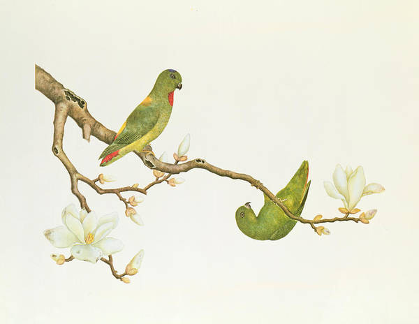 Ch Painting - Blue Crowned Parakeet Hannging On A Magnolia Branch by Chinese School