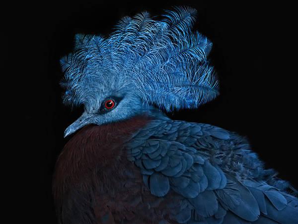 Pigeon Photograph - Blue Crowned Pigeon by Joachim G Pinkawa