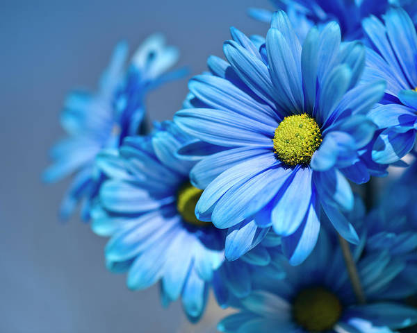Petal Photograph - Blue Daisies by Jody Trappe Photography