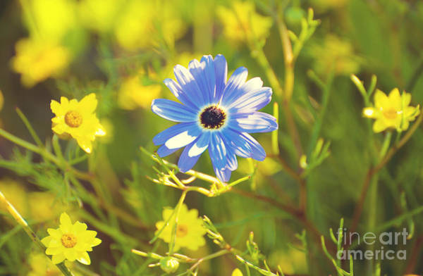 Photograph - Blue Daisy by Yew Kwang