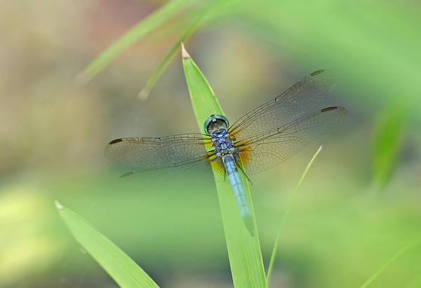Dasher Photograph - Blue Dasher by Bill Morgenstern