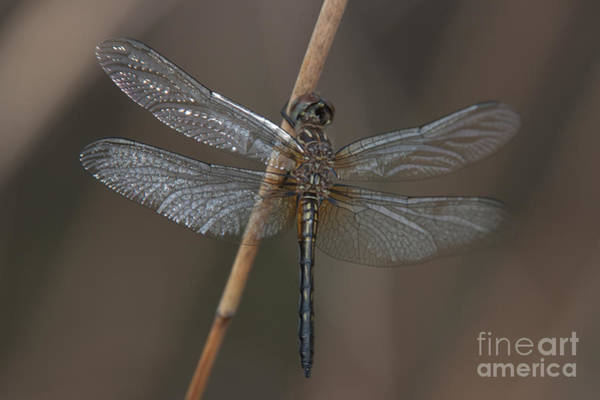 Photograph - Blue Dasher Dragonfly by Clarence Holmes